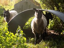 Three Sheep in Country Village @ Crookham, Northumberland, England. Stock Images