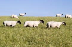 Three sheep crossing. Three sheep passing along a dike Royalty Free Stock Image