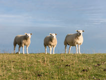 Three sheep on dike, Holland Royalty Free Stock Image