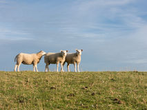 Three sheep on dike, Holland Royalty Free Stock Photography
