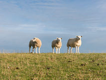 Three sheep on dike, Holland Royalty Free Stock Photo