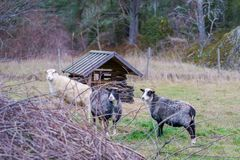 Three sheep in the enclosure. Rural in the fall, three sheep in the enclosure, two dark gray and one white stock image