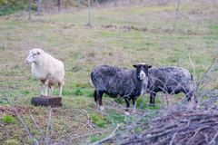Three sheep in the enclosure. Rural in the fall, three sheep in the enclosure, two dark gray and one white stock photos