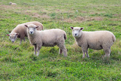 Three sheep in a farm field Royalty Free Stock Image