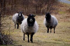 Three sheep Royalty Free Stock Photography