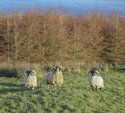 Three sheep. 3 sheep at the Glens of Antrim, Northern Ireland,UK royalty free stock photography