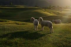 Three sheep on the grassland Royalty Free Stock Photography