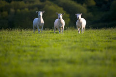 Three sheep in a grassy field look into the lens Royalty Free Stock Images