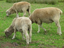Three sheep grazing  Stock Image