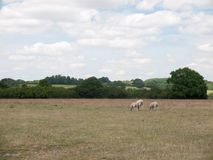 Three Sheep grazing in a farm field Royalty Free Stock Photography