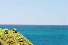 Three sheep grazing Royalty Free Stock Photos