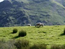 Three sheep on hill. Sheep grazing on hill with mountain behind Stock Photos