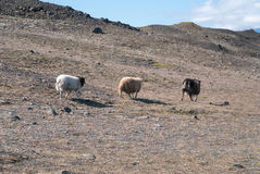 Three sheep in Iceland Royalty Free Stock Photography