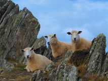 Three Sheep Relaxing in the Rocks stock image