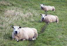 Three sheep lie in grass of meadow in holland Stock Images