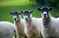 Three sheep in a line with focus on middle sheep. Three sheep standing in a line in amongst a flock in a field. Focus is on the middle sheep, whose mouth is open Stock Image