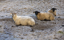 Three sheep lying down. Stock Photos