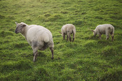 Three sheep in a meadow. Royalty Free Stock Image