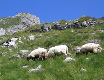 Three sheep at the mountain Stock Photo