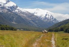 Three sheep in mountain valley. Three sheep walking down trail in New Zealand Matukituki Valley Stock Photos
