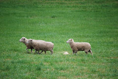 Three Sheep. Moving across a grassy pasture Royalty Free Stock Images