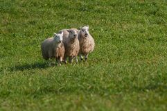 Three Sheep Ovis aries Lined Up Royalty Free Stock Photos