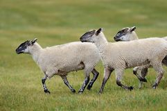 Three Sheep (Ovus aries) Royalty Free Stock Photography