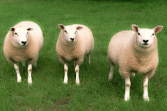Three sheep Stock Photography