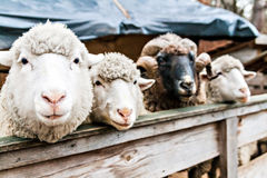 Three sheep and the ram in a pen. Looking to those who look stock photography