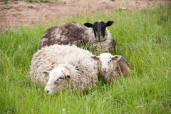 Three sheep resting on green grass in spring Stock Images