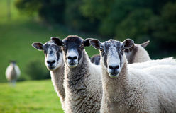 Three sheep in a row - focus on the right sheep. Three sheep in a line, standing in a field, looking towards the camera, with the focus on the right sheep Stock Images