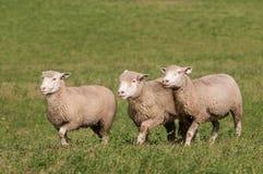 Three Sheep Run Across Pasture Royalty Free Stock Photography