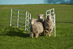 Three sheep running through gate. Royalty Free Stock Images