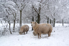 Three sheep in the snow. Winter landscape with sheep and snow Stock Image