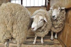 Three sheep. Royalty Free Stock Image