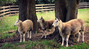 Three Sheep Stock Photo