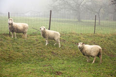 Three sheep Royalty Free Stock Photo
