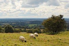 Three sheep at Tara Hill. Three sheep grazing on a Hill of Tara, the seat of kings of ancient Ireland stock photo