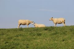 Three sheep together at a green in summer stock photography