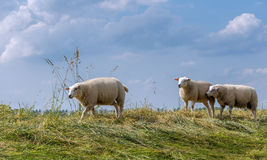 Three sheep on top of an embankment royalty free stock images