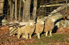 Three sheep use a fallen tree to scratch their backs. Three sheep in a field in New Hampshire, USA, use a fallen tree to scratch their backs Royalty Free Stock Image
