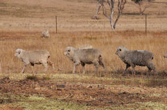 Three sheep walking in a row in a dry farm paddock. The three sheep walking in a row are in a drought affected farm paddock, evident by the dry grass, with few Royalty Free Stock Images
