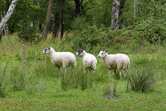 Three sheep in wooded area Royalty Free Stock Photography
