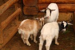 Three sheep Royalty Free Stock Image