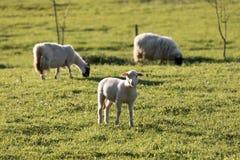 Three_sheeps Fotografia de Stock