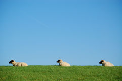 Three sheeps. In a row on a dike in germany Stock Photos