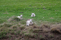 Three sheeps in the field. A photo of three sheeps lying in the field Stock Image