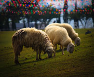 Three sheeps grazing grass. Three sheeps are grazing grass in the farm royalty free stock image