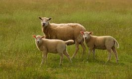Three sheeps grazing in the meadows Stock Photography