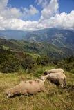 Three sheeps on the mountain Royalty Free Stock Photo